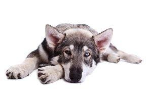 pet portrait - utonagan puppy