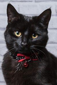 black cat pet portrait