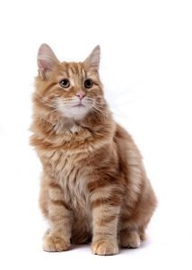 Pet Portraits - Chester - ginger tom cat